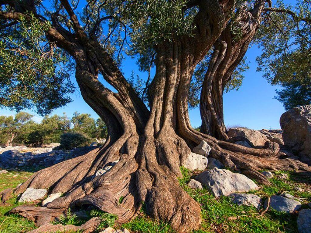 Lun Olive Tree
