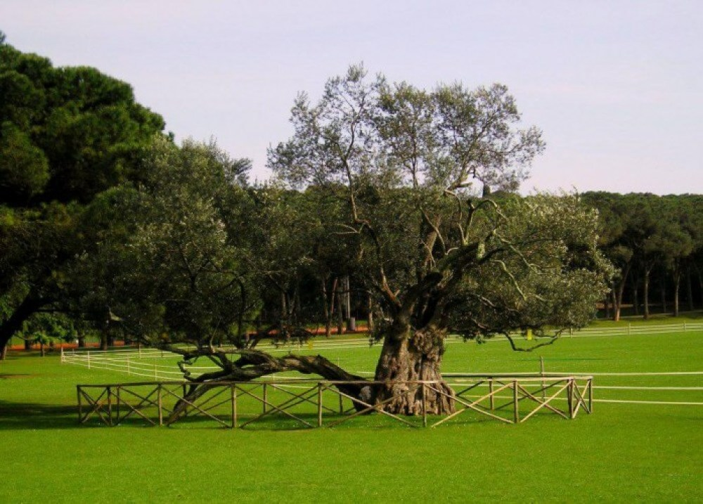 Olive Tree, Brijuni