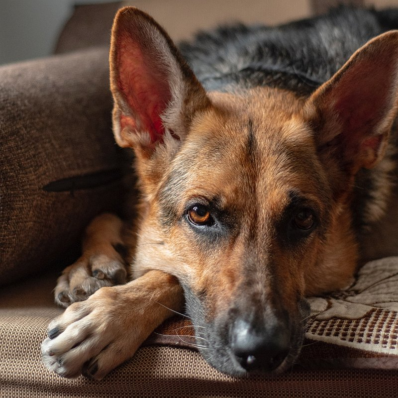 berger-allemand-chien-préféré-france-blog-crocandiz