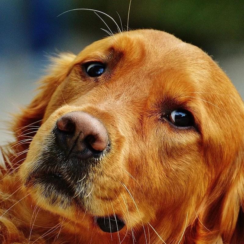 golden-rete=riever-chien-préféré-français-blog-crocandiz