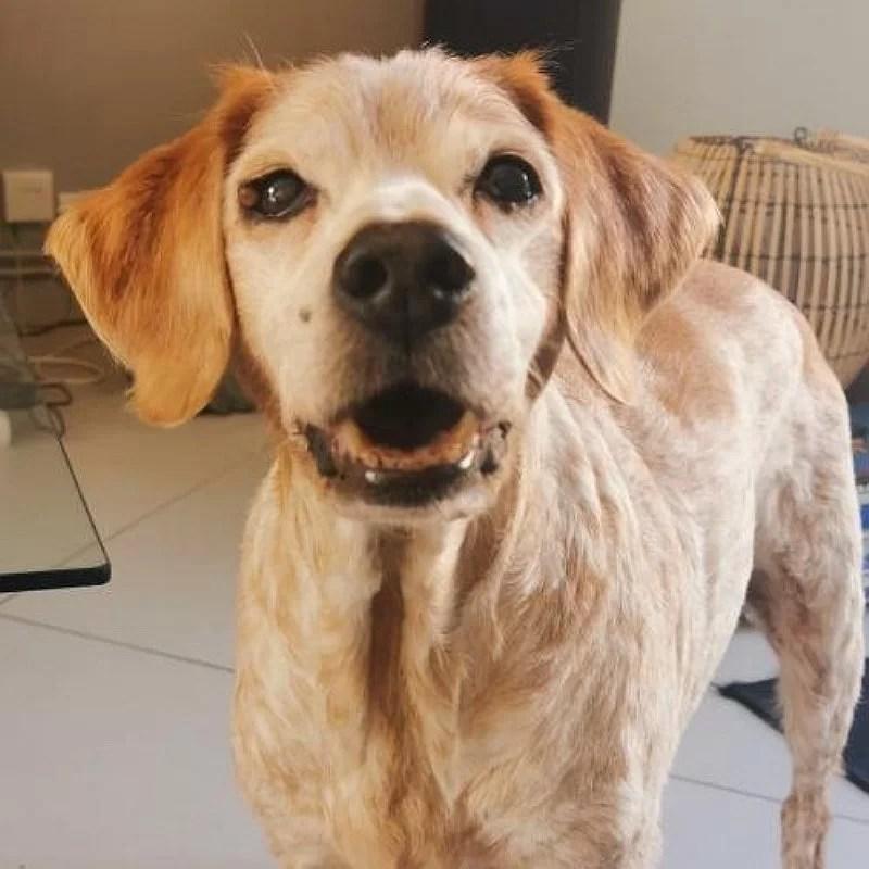 Vicky-epagneul-breton-chien-gourmand-crocandiz