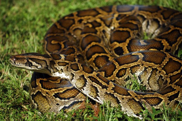 Radiotelemetry and Control of Burmese Pythons | The Croc Docs