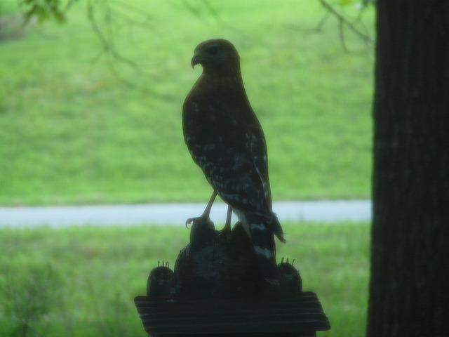 hawk on a bird feeder