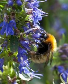 Bombus muscorum (Moss Carder Bee)