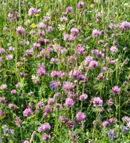 Clover for the bumblebees