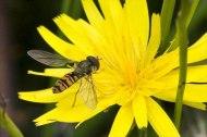 Marmalade Hoverfly Episyrphus balteatus