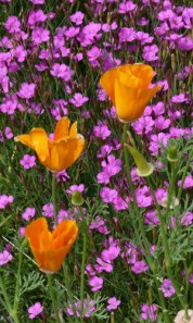 California poppies with maiden pinks