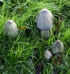 Coprinopsis-atramentaria-Common-Inkcap