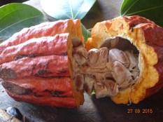 Les fèves de cacao
