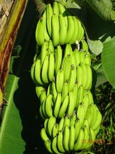 Un joli régime de bananes