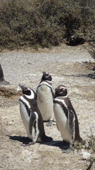 Puerto Madryn- Les Pingouins