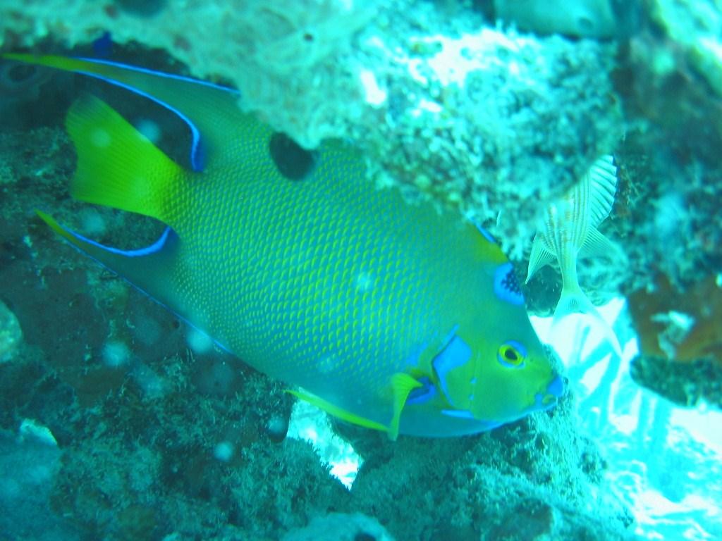 Magnifique poisson ange