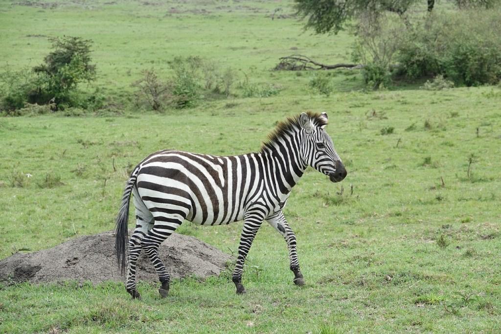zebra safari Kenya