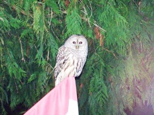 Owl on my flagpole with the infamous racoon rumble in background