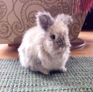 Molly the house bunny