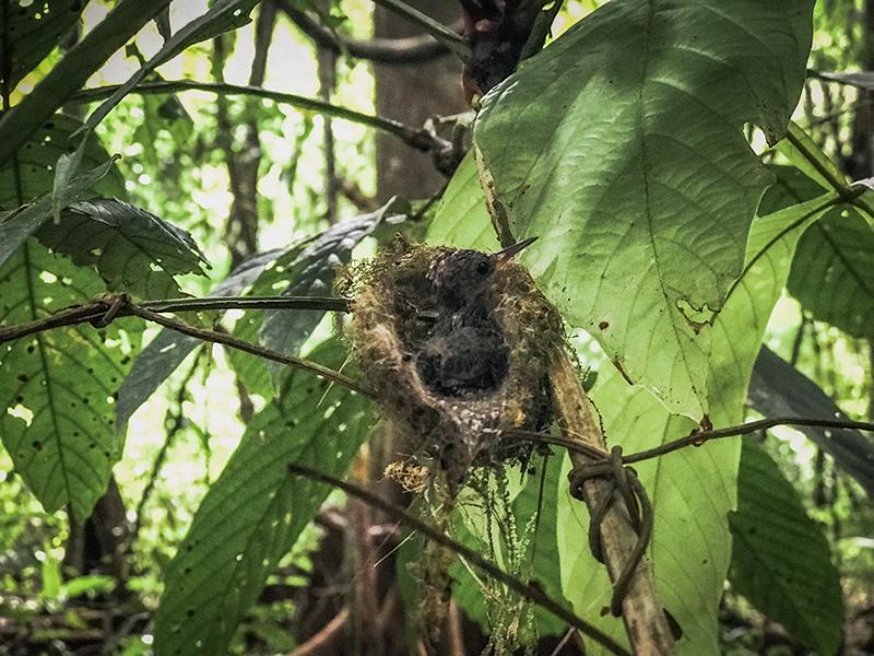 Nido de colibrí en el Parque Nacional Corcovado