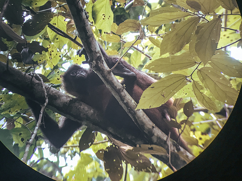 Mono en la selva de Costa Rica