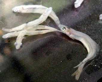 Larva crecidita de sardina, Sardina pilchardus