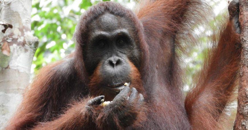 Orangutanes en Borneo