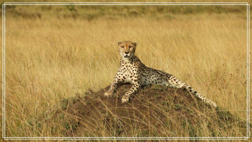 Guepardo de Safari en Kenia