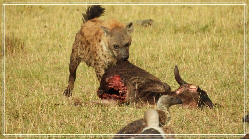 Hiena comiendo carroña durante el safari en Kenia