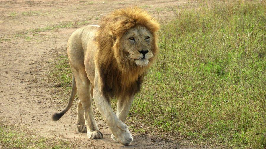 León en Serengeti
