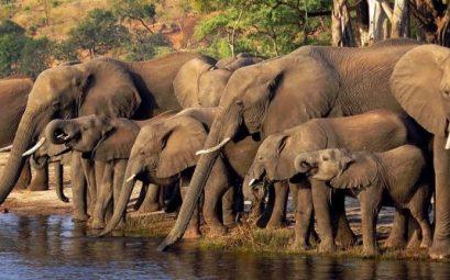 Elefantes en el río Chobe de Botswana