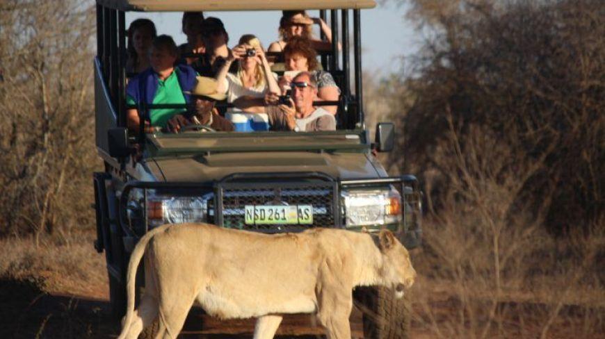 León delante del coche, Hlane, Swazilandia
