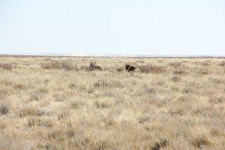 leones durante nuestra visita a Etosha