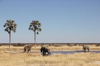 Elefante y jirafa bebiendo agua, visita a Etosha