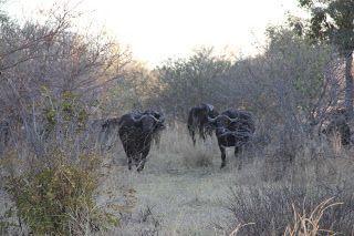 Búfalos entre vegetación