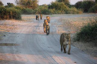 Leones en la carretera del Chobe