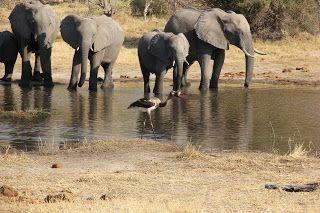 Elefantes bebiendo agua en nuestro safari en Moremi, DElta Okavango