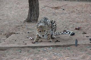 Guepardo Gobabis, Namibia