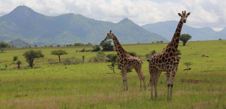 Jirafas Safari en Kidepo Valley, Uganda
