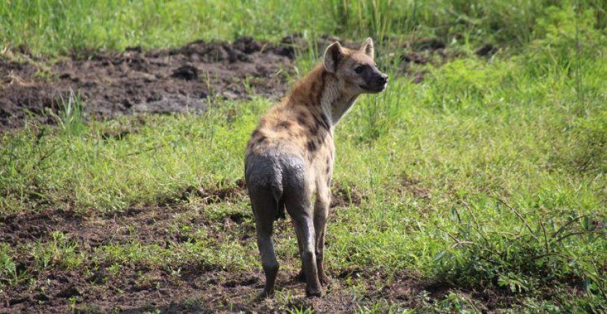 Hiena Murchison Falls Uganda