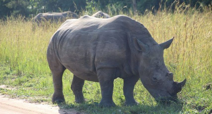 Rinoceronte Blanco en Ziwa