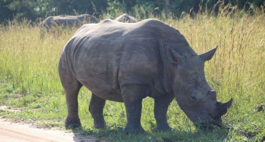 Rinoceronte Blanco Ziwa, Uganda