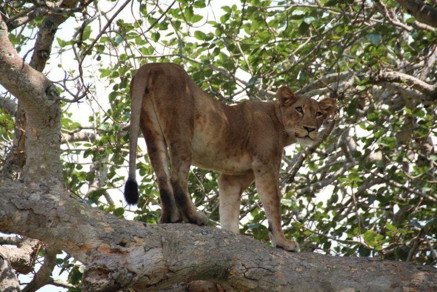 Leona de pide en árbol, Isasha, Safari en Queen Elizabeth