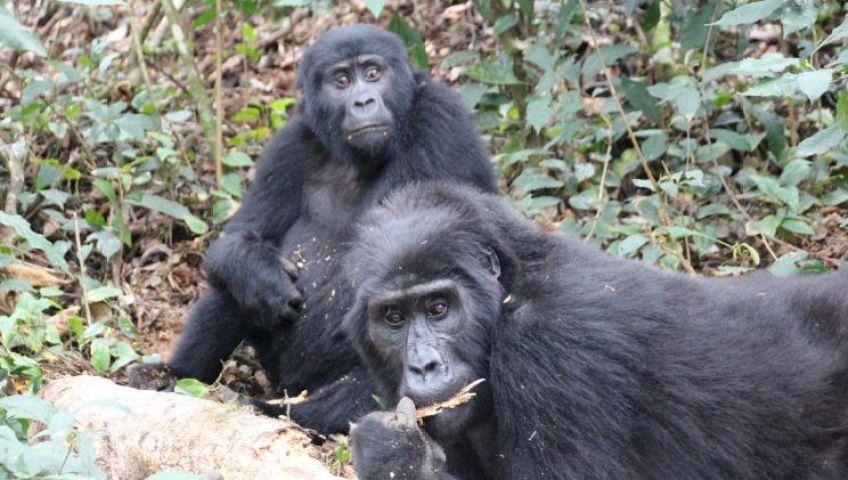 Gorilas en Bwindi, Uganda