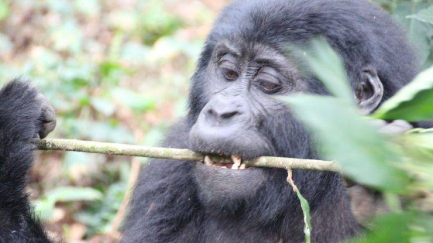 Gorilas en Bwindi, una de las paradas obligadas en nuestro itinerario de viaje a Uganda