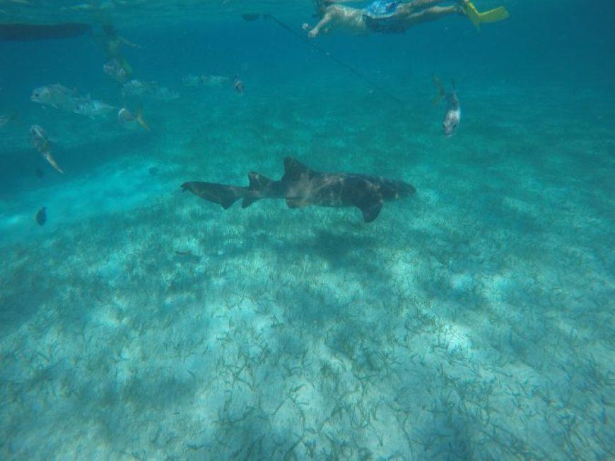 Tiburon cayo caulker belice