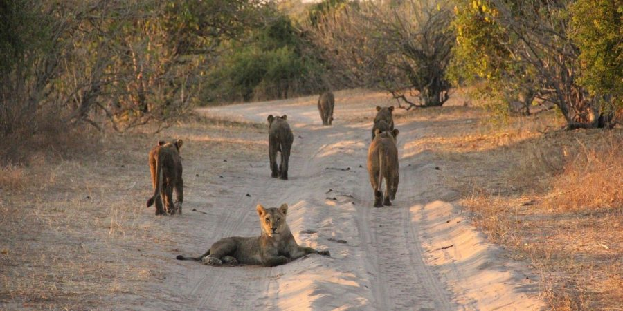 Leones en la carretera del Leones Chobe