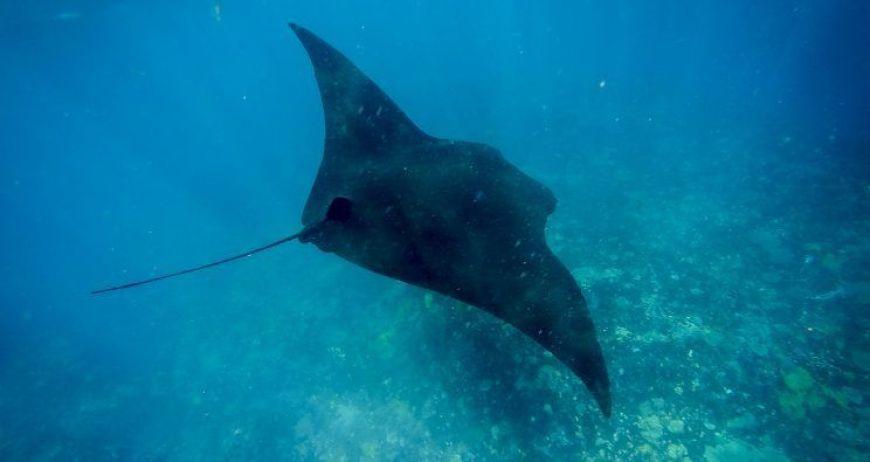 Snorkel manta Nusa Penida