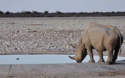 Rinoceronte Blanco en Namibia