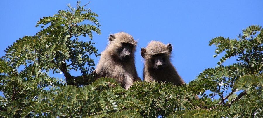Monos Uganda