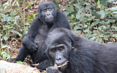 Gorilas Uganda