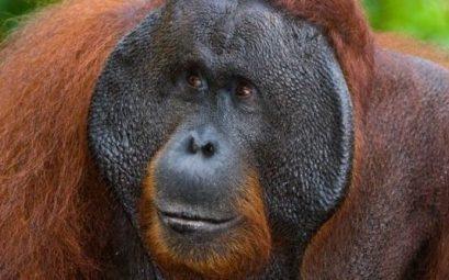 orangutanes en Borneo, Indonesia