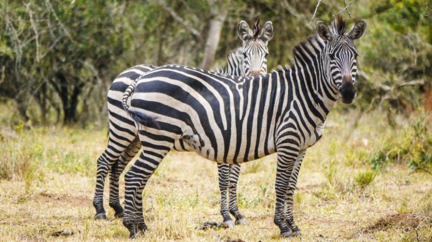 Cebras Lago Mburo