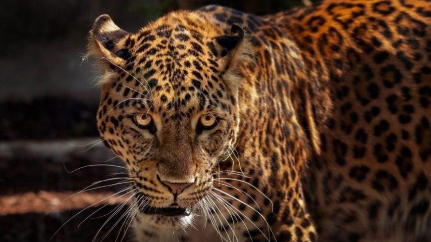 jaguar brasil